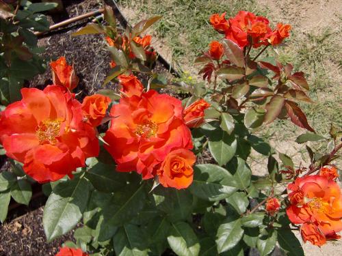 靱公園のバラ-アップ05