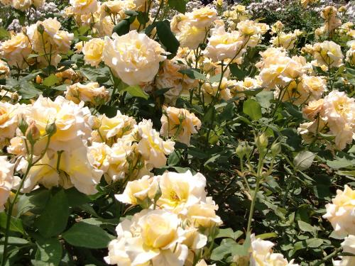 靱公園のバラ-アップ06