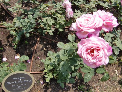 靱公園のバラ-アップ08