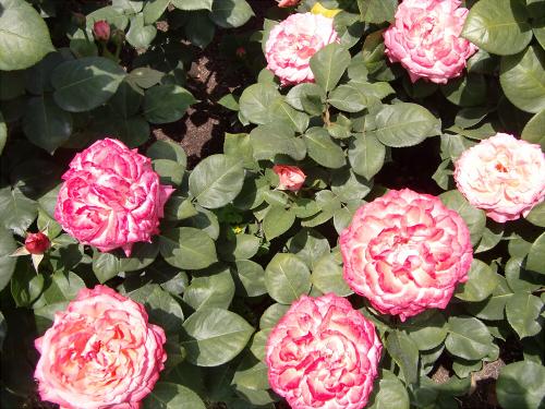 靱公園のバラ-アップ13