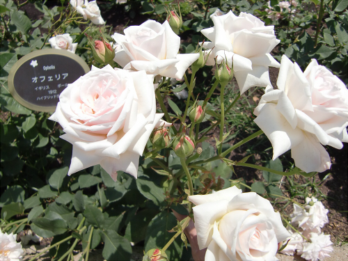 靱公園のバラ-アップ15