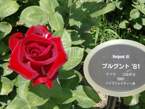 靱公園のバラ-アップ16