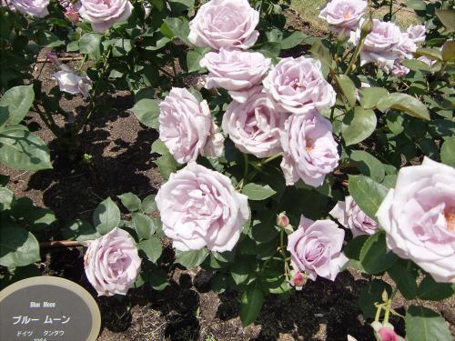 靱公園のバラ-アップ17