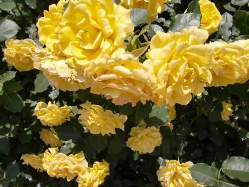 靱公園のバラ-アップ18
