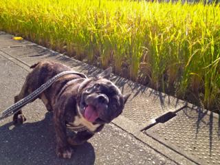 kochi_inaho.jpg