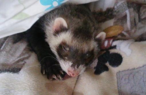 布団で眠るミッキー