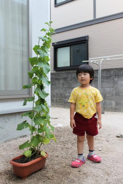 きゅうり初収穫②