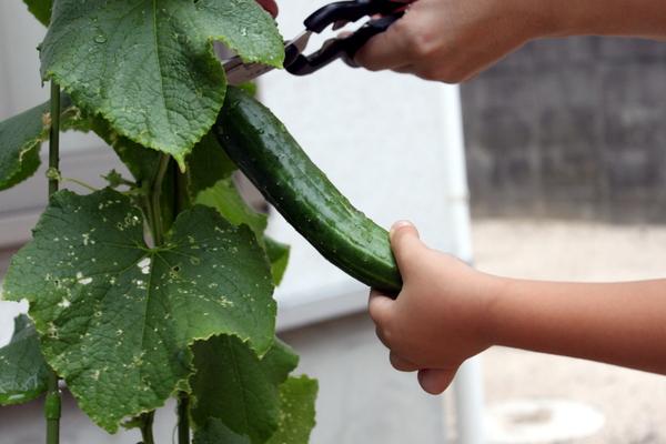 きゅうり初収穫⑤