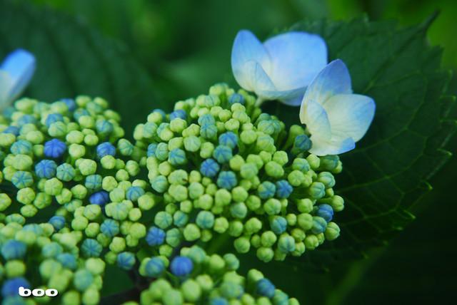 紫陽花の手毬のような蕾たち