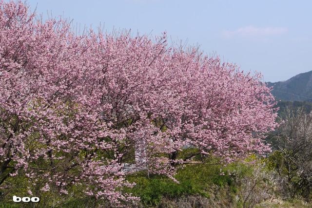 満開の雪割桜