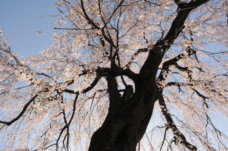 20130322-桜-004