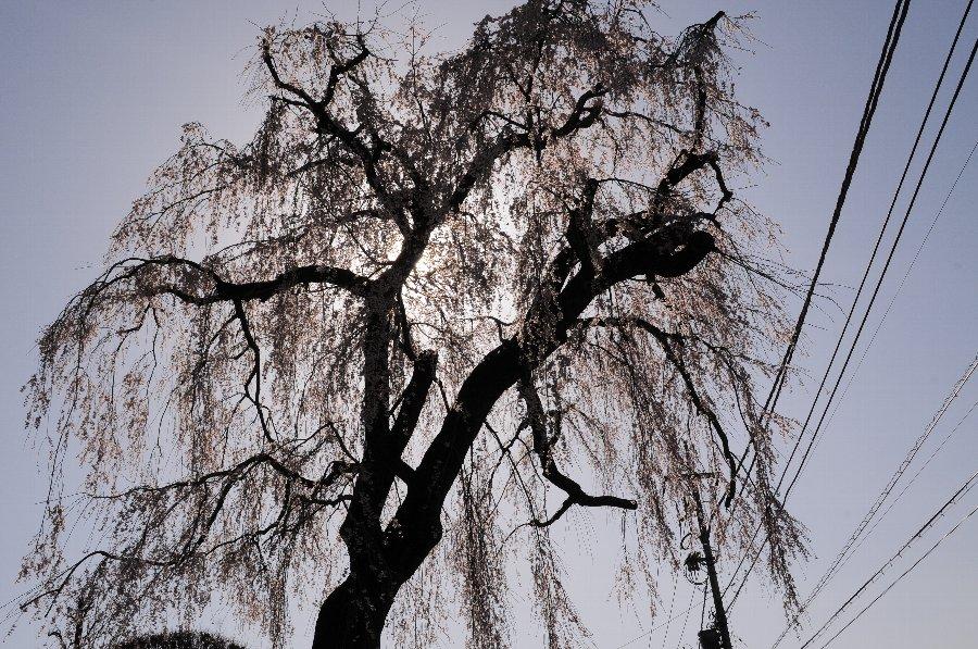 20130322-桜-001