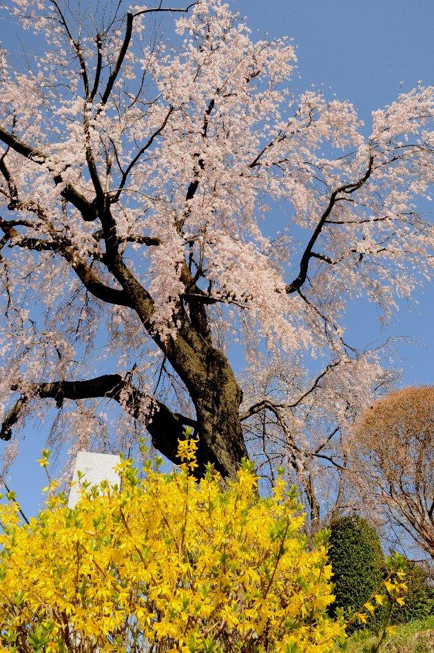 20130322-桜-003