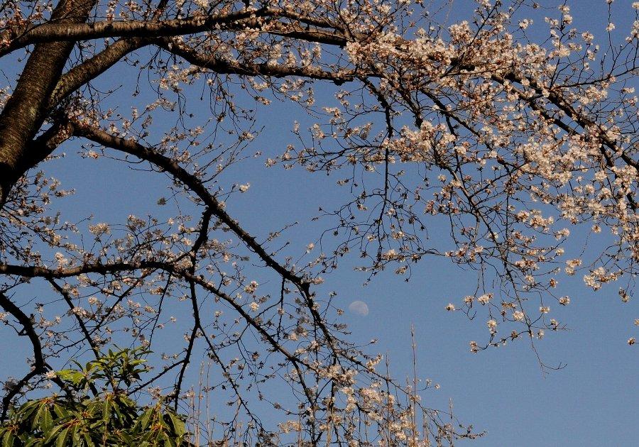 20130322-桜-002