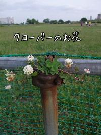 クローバーのお花