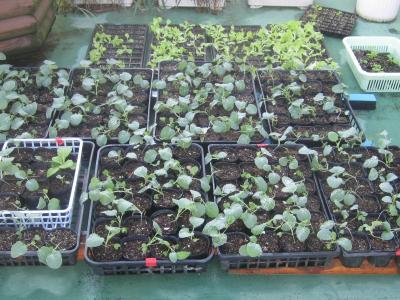 野菜苗9月