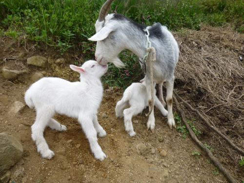1子ヤギ誕生