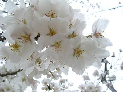 桜Sakura_Kotechai_400x300