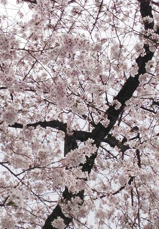 2013阿弥陀寺の桜