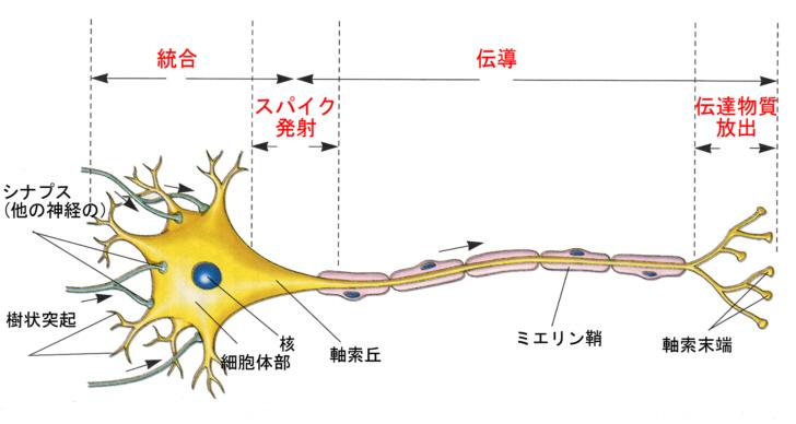 ニューロン図