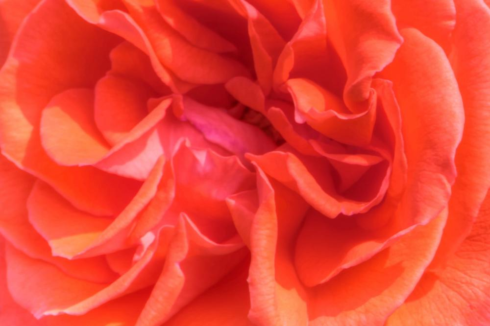 Rose2_convert_20120609105413.jpg