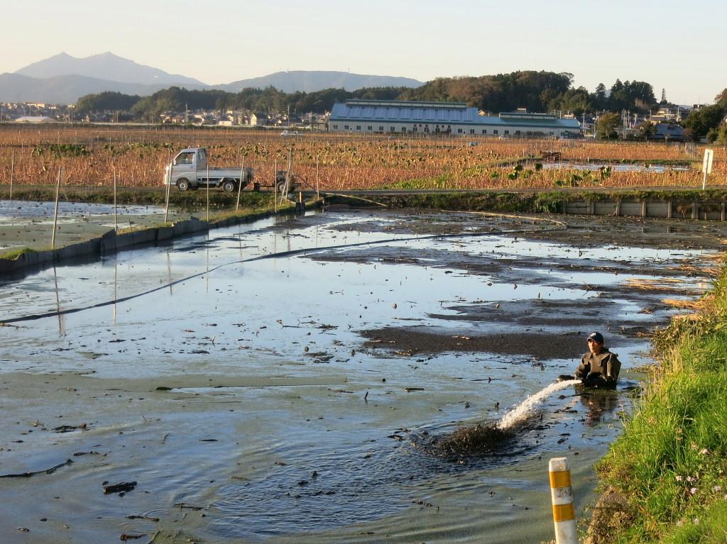 レンコン畑2