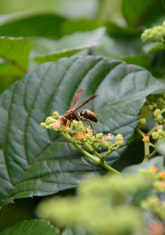 ヤブガラシと蜂