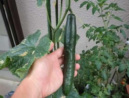 cucumber_20130629_1