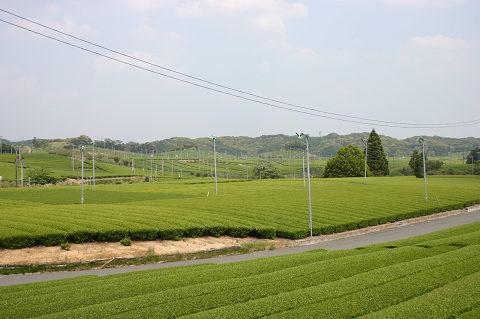 茶畑が鮮やかになりました
