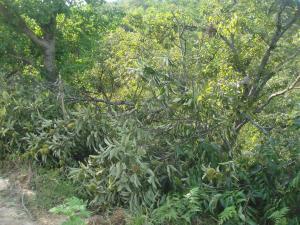 栗の枝が折れる