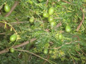 カヤの木と実