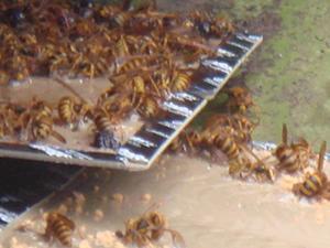 粘着板に捕まった蜂たち