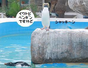 ペンギンですけど