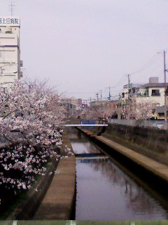 津門川 桜 130401_1356~001