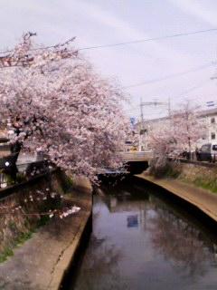 津門川 桜 130401_1353~001