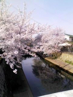 津門川 桜満開 130404_0901~001