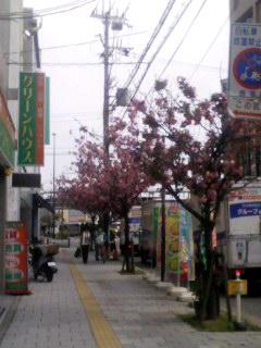 八重桜 130410_0908~001