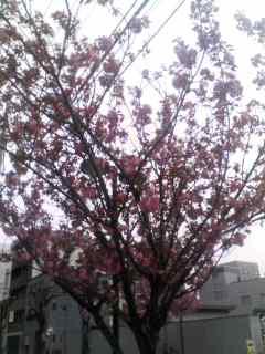 八重桜 130410_0907~001