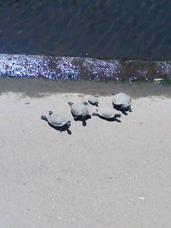 津門川のカメ 130507_1009~001