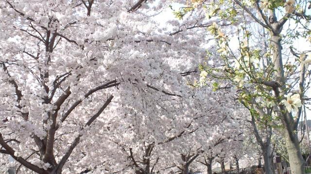 天神川桜1