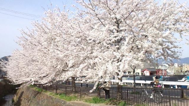 天神川桜2