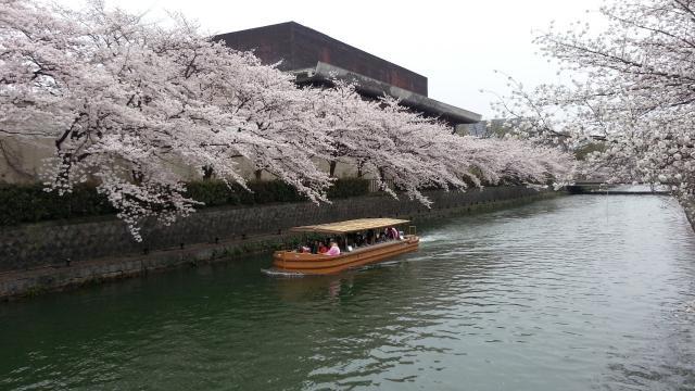 岡崎疎水・桜