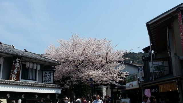清水寺参道 桜