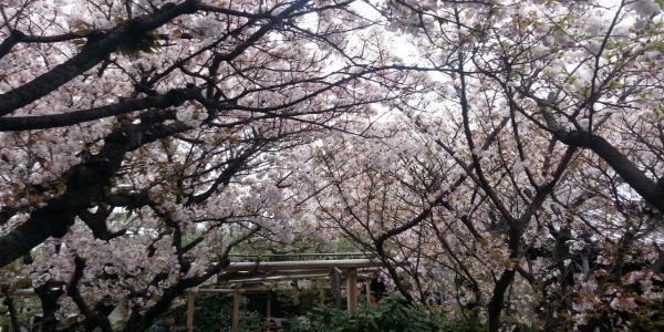 雨宝院 桜