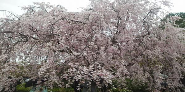 退蔵院 桜2