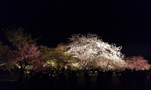 二条城 桜