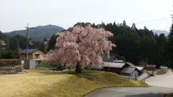 常照皇寺 桜2