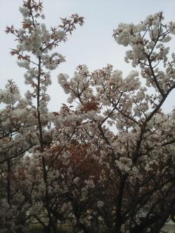 仁和寺 桜2