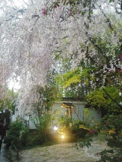 退蔵院 庭 桜