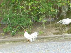 伊勢神宮 鶏